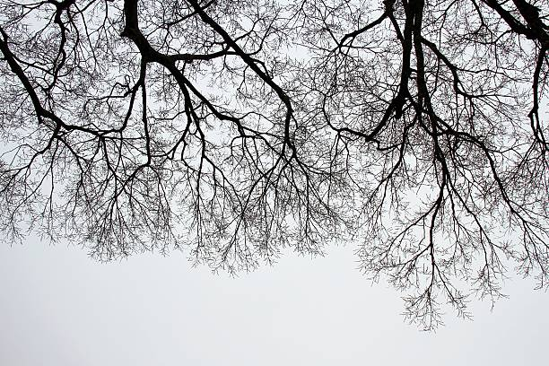 Bare Tree Branches on a white pale sky. - Photo