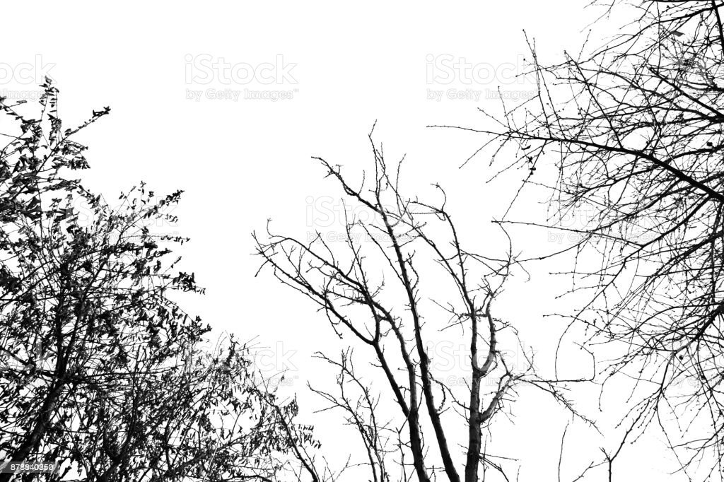 bare tree branches on a white sky stock photo