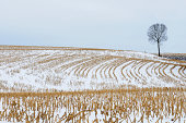 Snow covered corn field with single bare tree.