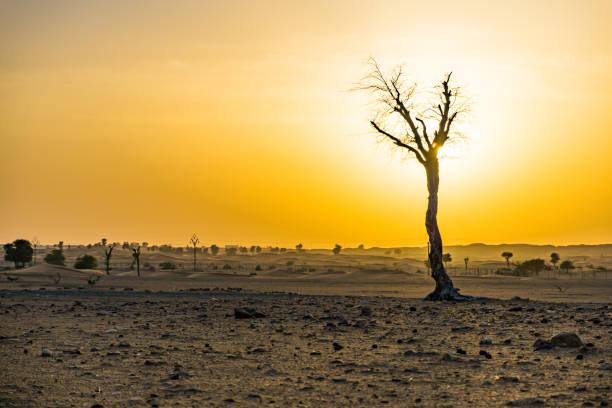Kahler Baum in der Wüste von Dubai bei Sonnenuntergang – Foto