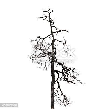 Dry dead leafless bare tree isolated on white background