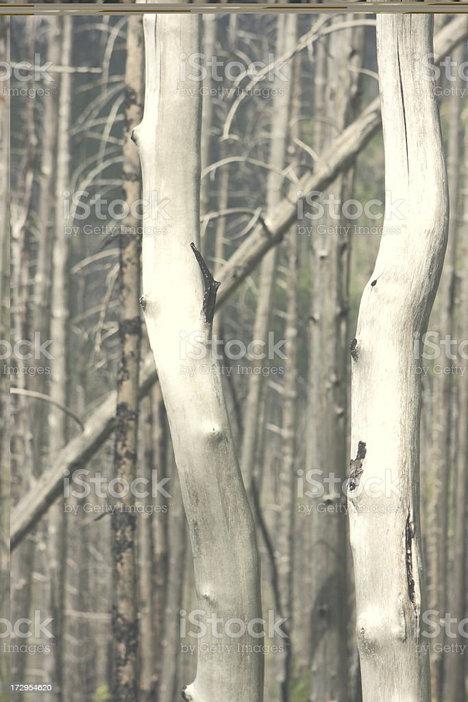Bare Tree Trunk Forest Fire Victims royalty-free stock photo