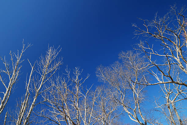 Bare trees and blue sky stock photo