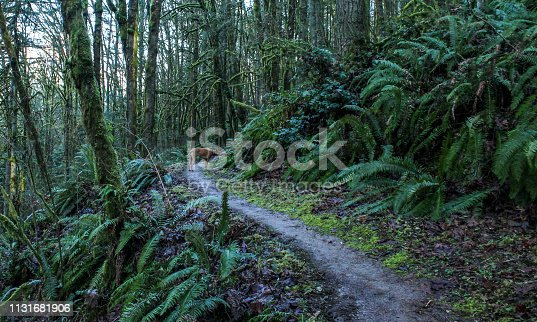 A color image of bare winter trees growing along side of lush ferns in a forest outside of Portland, Oregon.