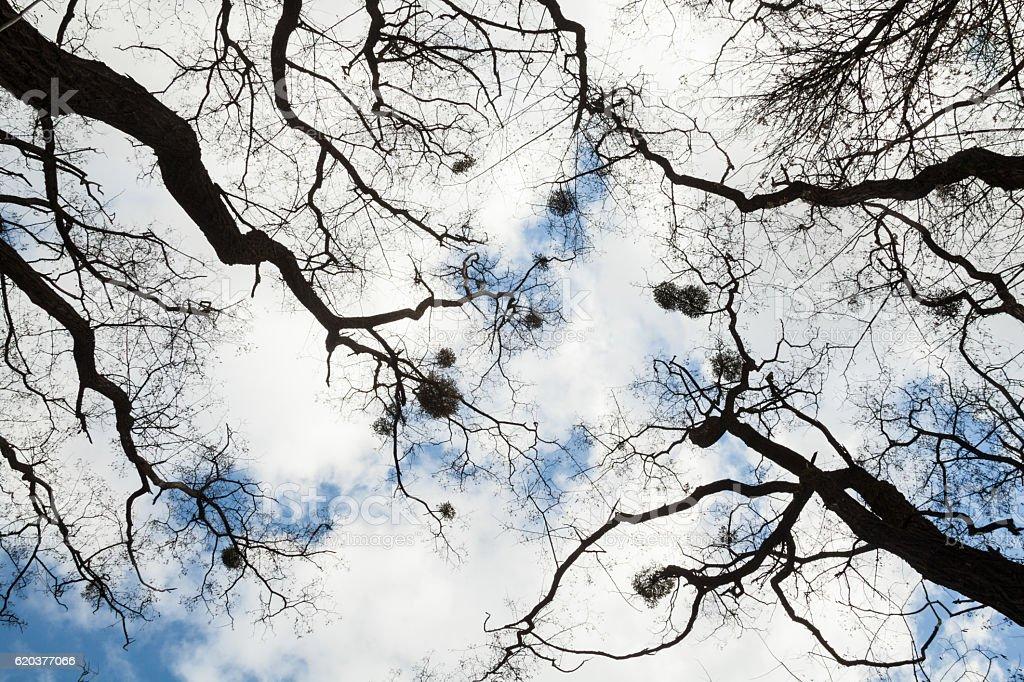 Bezlistne drzewa  zbiór zdjęć royalty-free