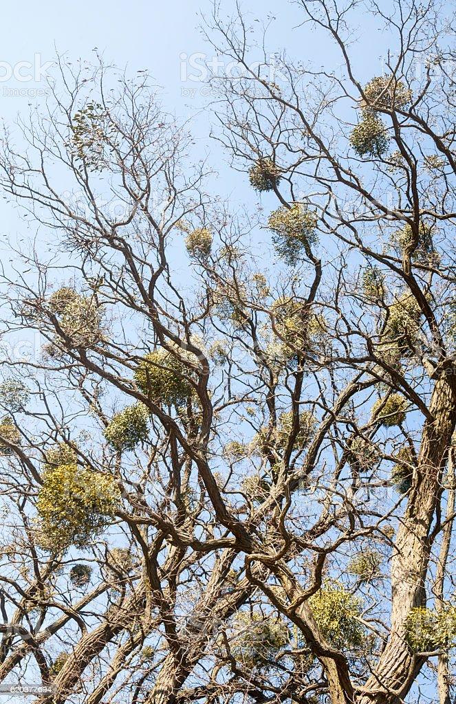 Bezlistne drzewa z mistletoes zbiór zdjęć royalty-free