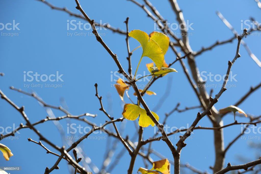 Bare twigs with a few yellowing leaves on a Ginkgo tree royalty-free stock photo