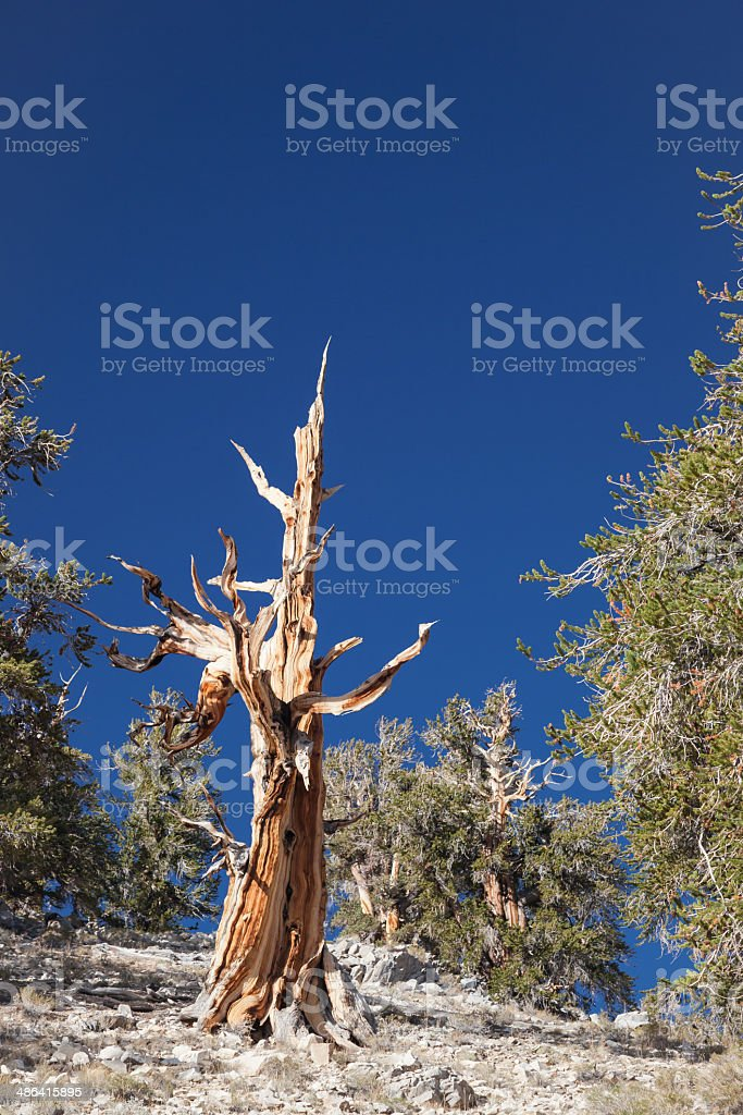 Bare Twisted Tree royalty-free stock photo