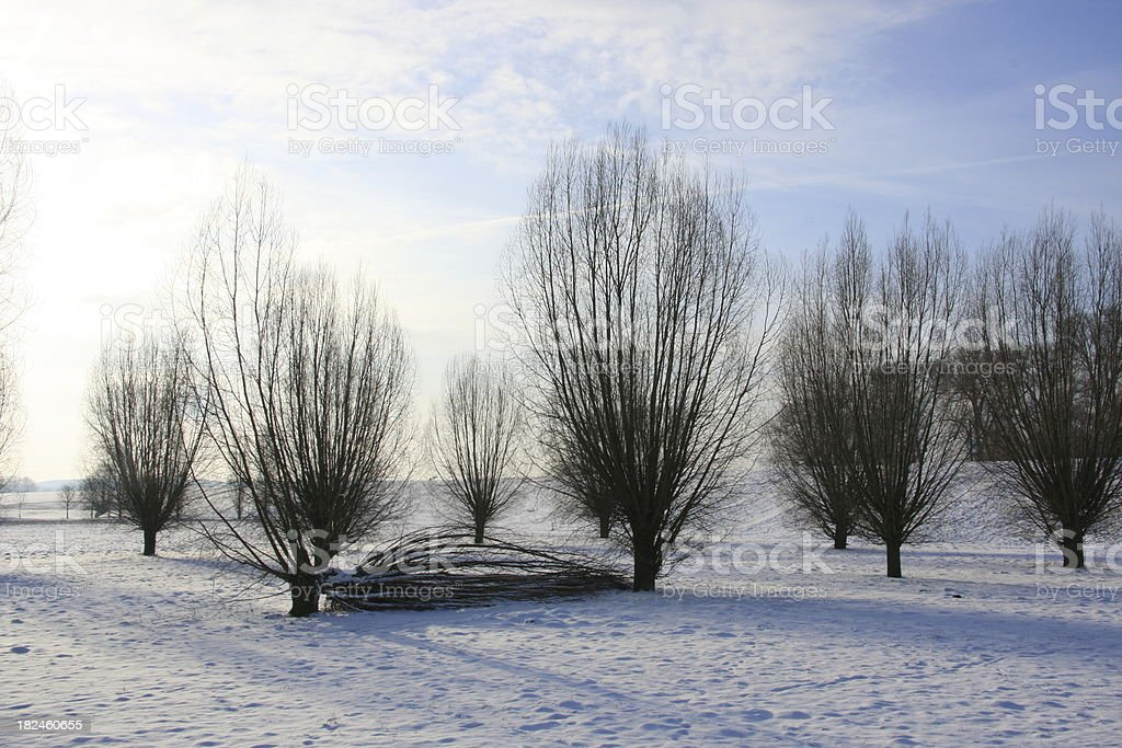 bare willow trees on Rhine meadows royalty-free stock photo