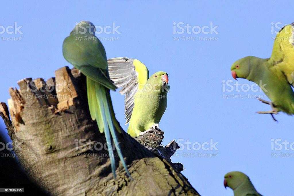 Gathering of rose-ringed parakeet Psittacula krameri in London winter stock photo