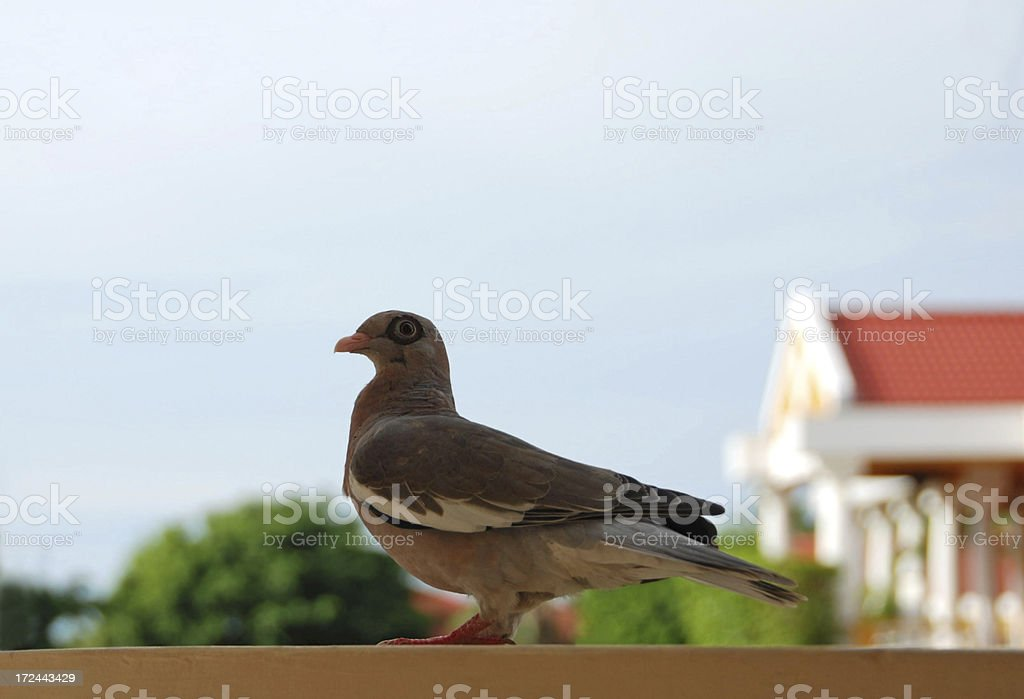 Bare-eyed Pigeon standing on railing royalty-free stock photo