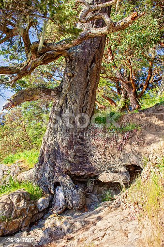An arbutus tree's roots are barely holding on to the ground on the side of a hill