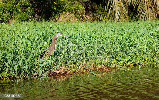 bare-throated tiger heron (Tigrisoma mexicanum), Tortuguero National Park, Costa Rica