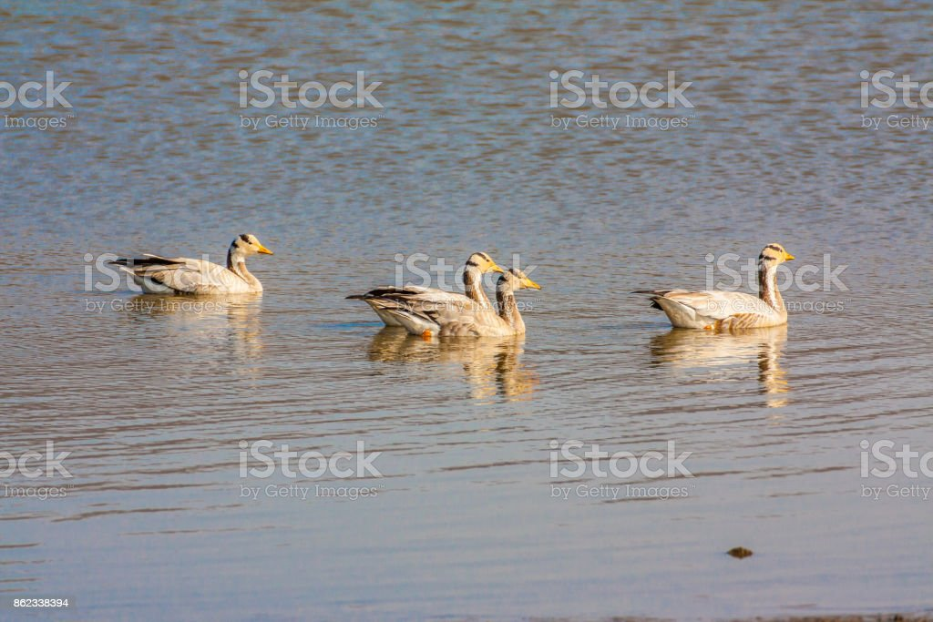 Bar-headed goose, Sariska Tiger Reserve, India stock photo