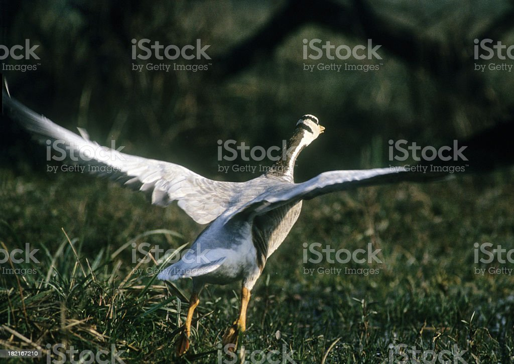 Bar-headed Goose Takes Off stock photo