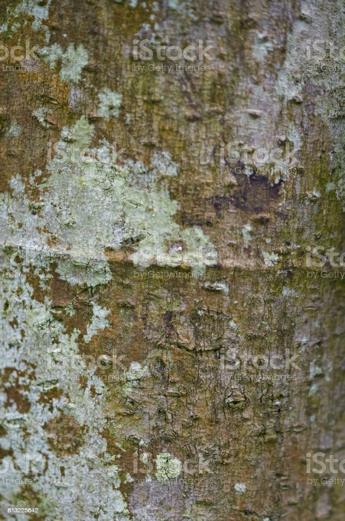 Bark background of Cecropia obtusa tree close up. stock photo