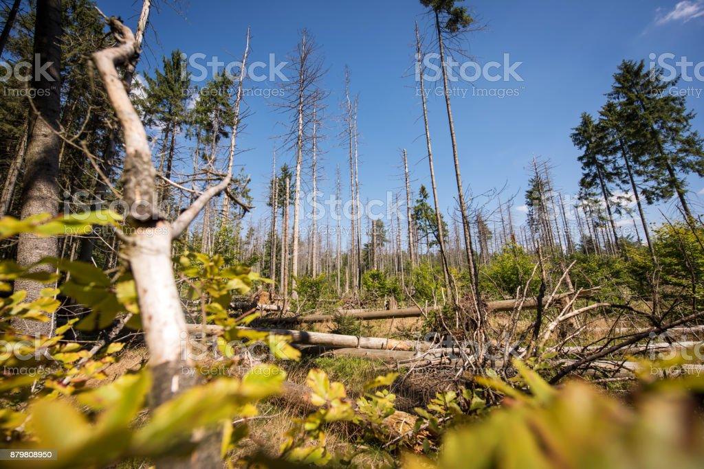 Bark beetle damaged forest, Saxon Switzerland, Germany stock photo
