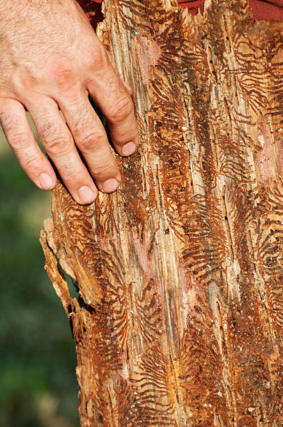 Bark beetle infested piece of wood stock photo