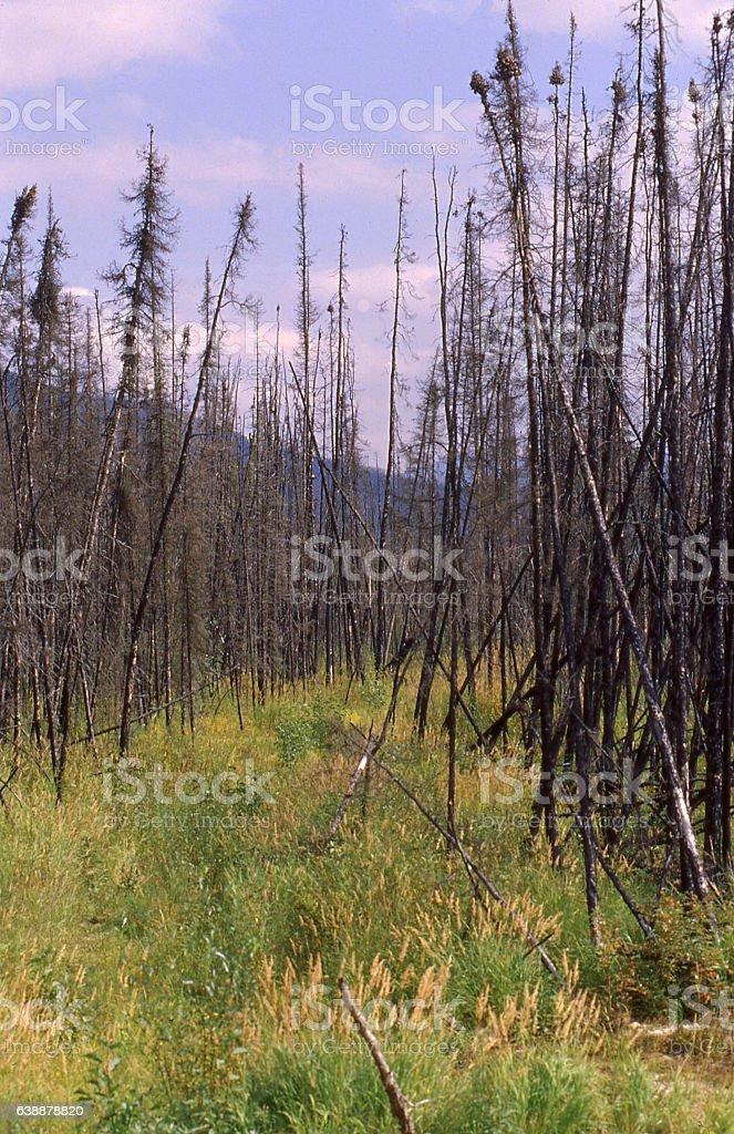 Bark Beetle infested Taiga forest near Fairbanks Alaska