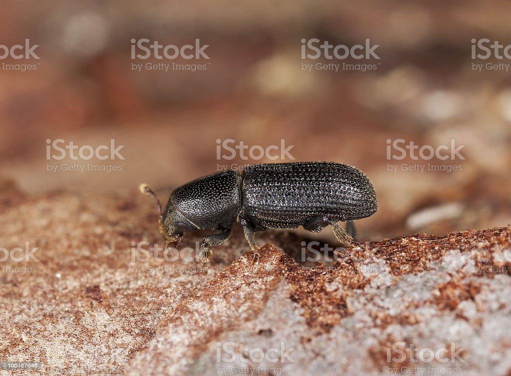 Bark beetle on wood. stock photo