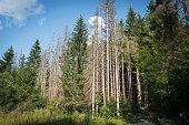 Pine forest devastated be bark beetle infestation.