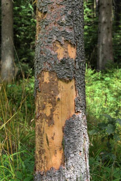 bark beetle stock photo