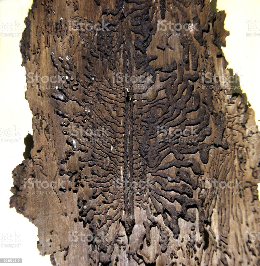 bark beetle; printers; from; corroded stock photo