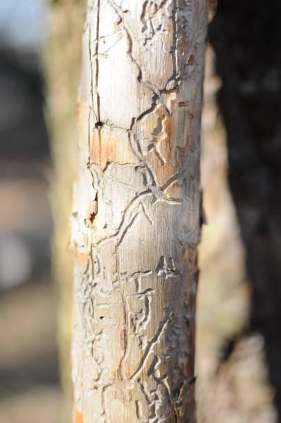 Bark beetle tree stock photo