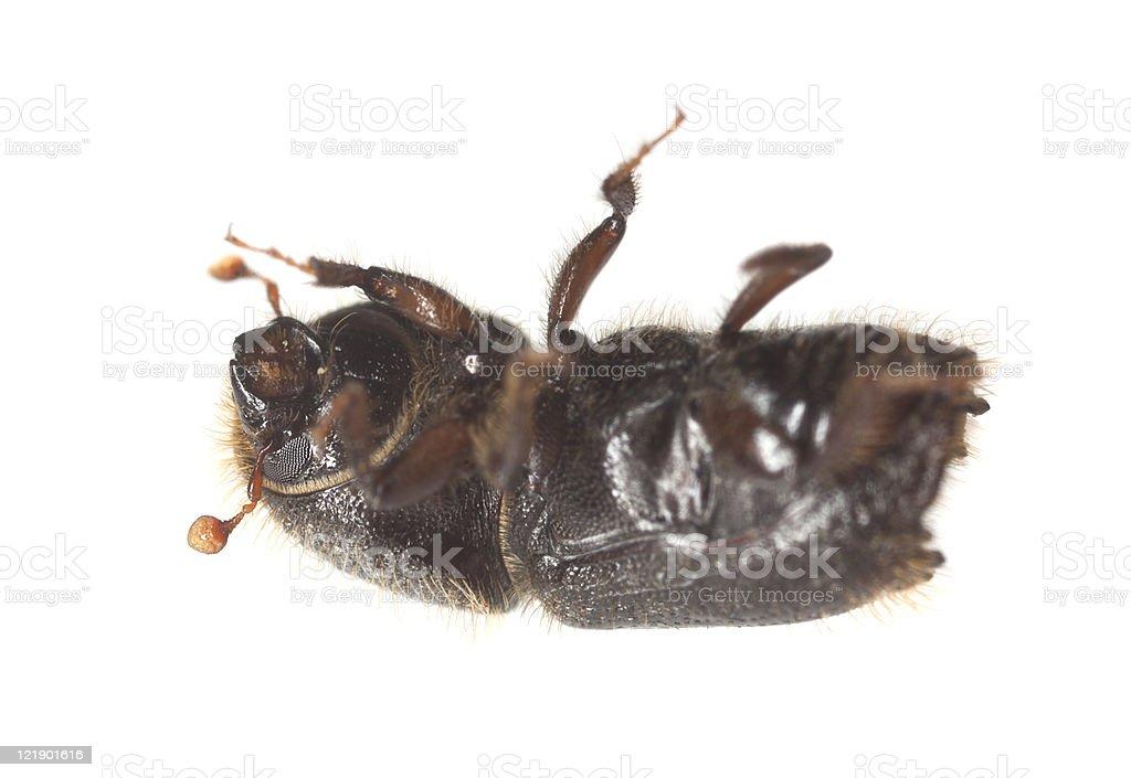 Bark borer isolated on white background, extreme close up stock photo