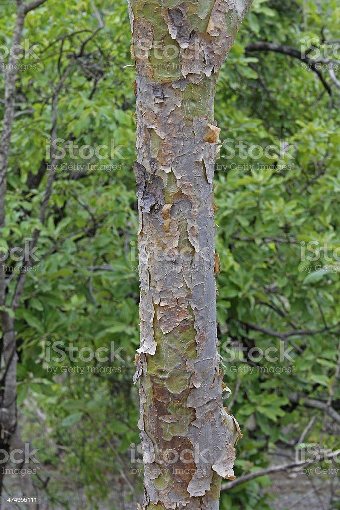 Bark, Boswellia Serrata stock photo