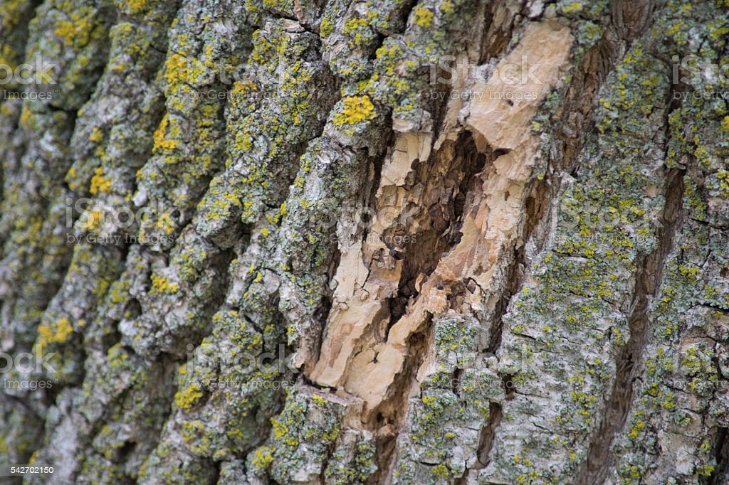 Bark damage on an ash tree, signs of bug damage stock photo