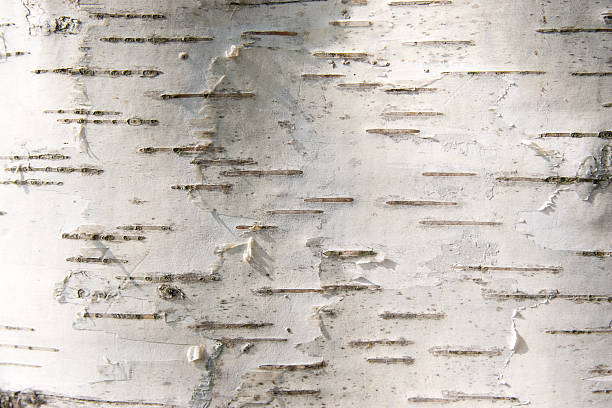 bark of a birch stock photo