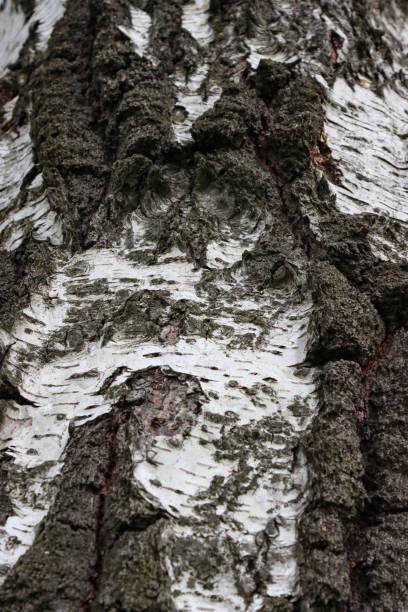 Bark of a birch tree. stock photo