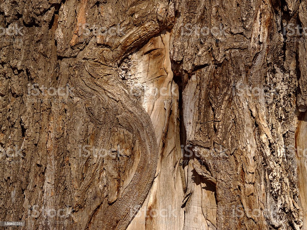 Bark of an old elm royalty-free stock photo