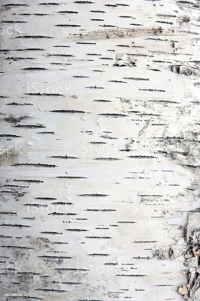 Rinde der Birken – Foto