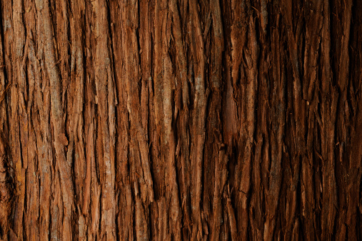 Bark of cedar tree texture background