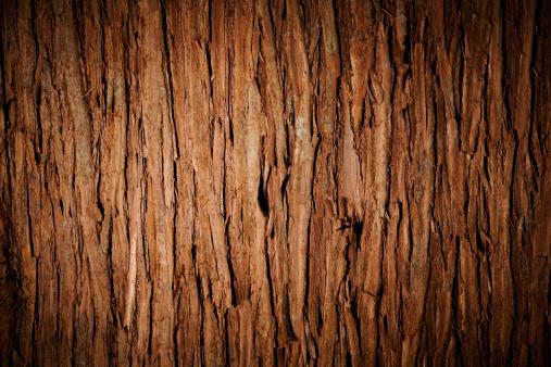 Bark of cedar tree texture background with spotlight