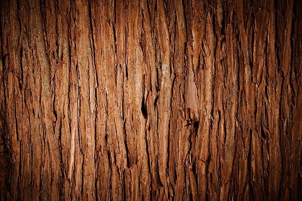 Bark of cedar tree texture background with spotlight stock photo