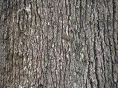 bark of grevillea robusta southern silky oak
