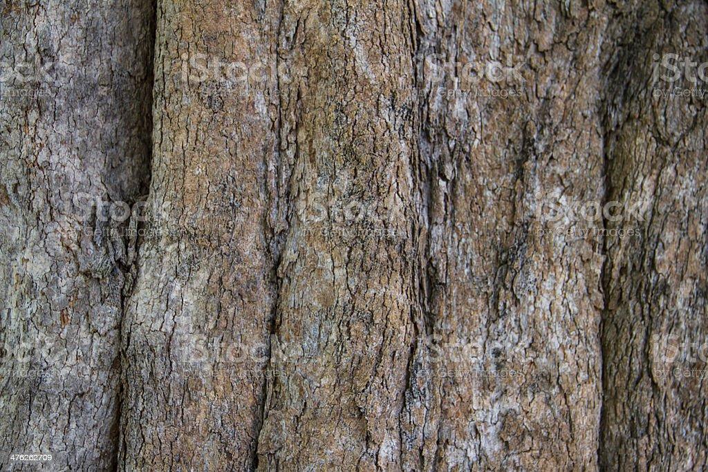 Bark of Irvingia malayana tree royalty-free stock photo
