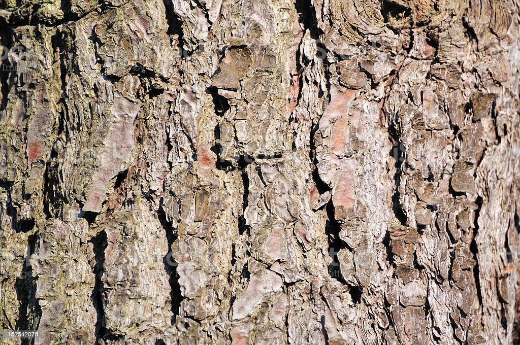 bark of Maritime Pine (pinus pinaster) stock photo
