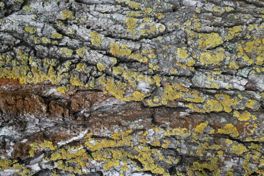 Bark of old tree with green and red moss. foto stock royalty-free