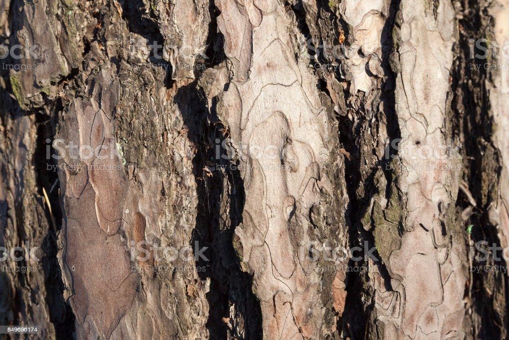 Bark of pine stock photo