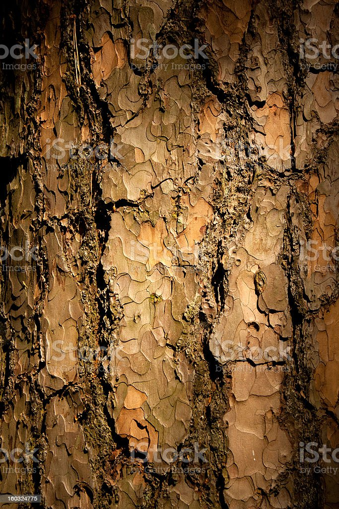 Bark of Pine Tree royalty-free stock photo