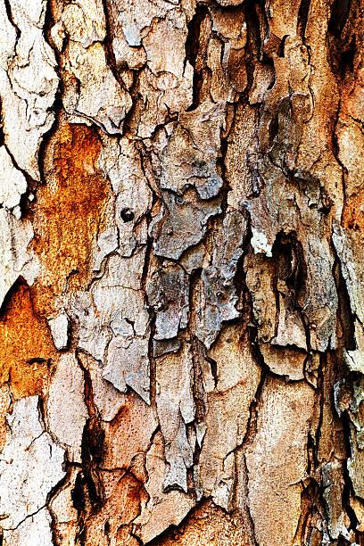 Rinde der Pine Tree – Foto