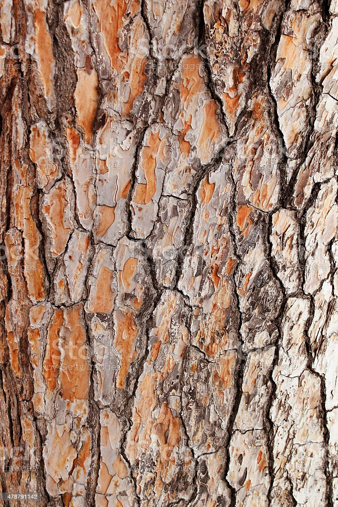 Bark of Pine Tree stock photo
