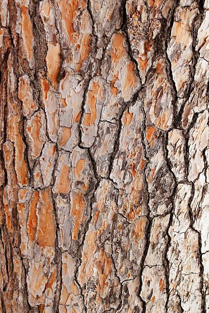 Bark of Pine Tree stock photo
