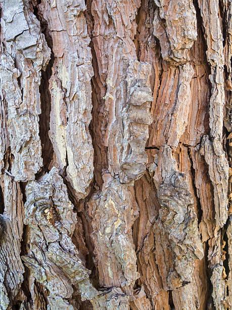 Corteccia di pino - foto stock