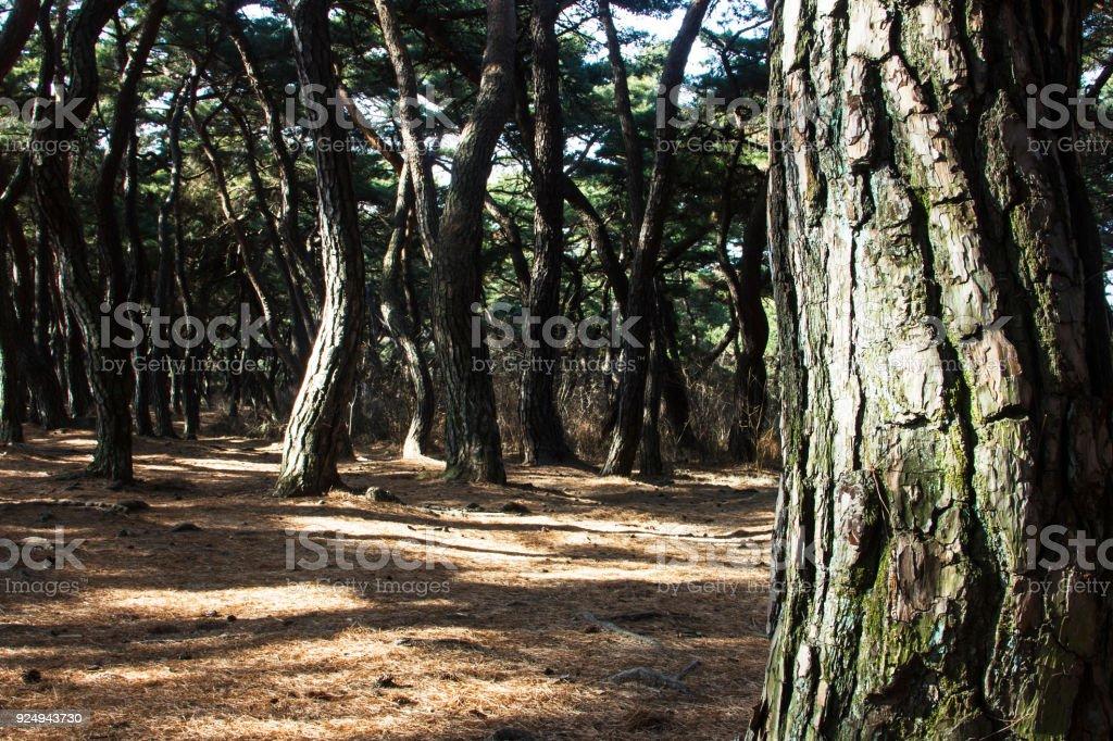 Bark of pine trees forest in Gyeongju, south korea stock photo