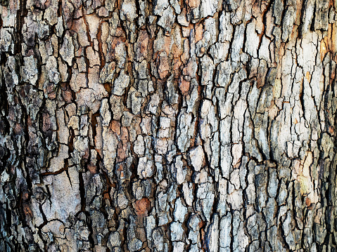Bark of plane tree.